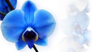 como cuidar una Orquidea Azul