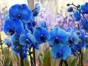cuidados de la Orquidea Azul