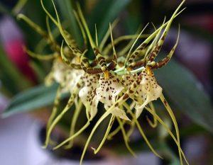 Orquidea Brassia