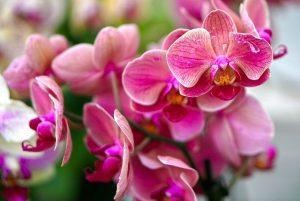 caracteristicas de la Orquídea Phalaenopsis