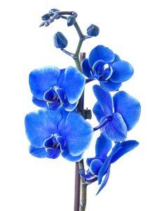 caracteristicas de la Orquidea Azul