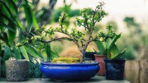 podar bonsai granado