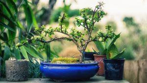 cuidados del bonsai de roble