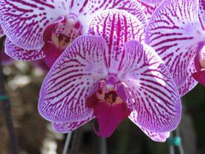 Orquídea Cattleya