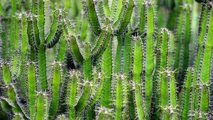 variedades del cactus