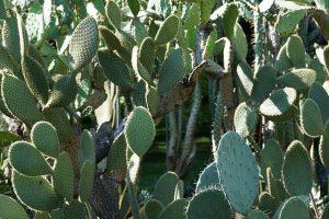 cuidados del cactus Echeveria