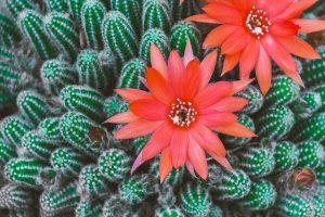 flor del agave