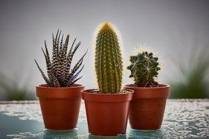 cuidados del cactus haworthia