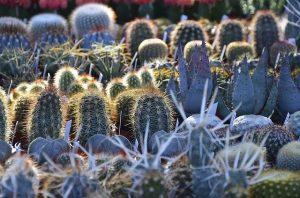 Cactus Lithops