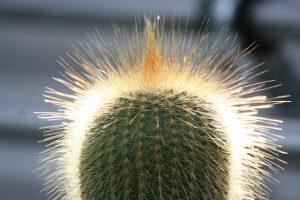 Cactus Echeveria