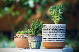 cuando plantar un cactus