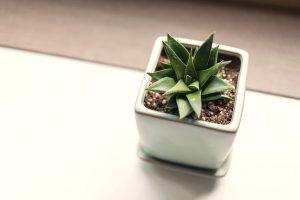 trasplantar un cactus