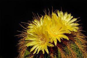 la flor del agave americano