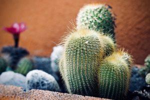 la flor del cactus san pedro