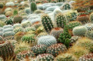 como trasplantar un cactus
