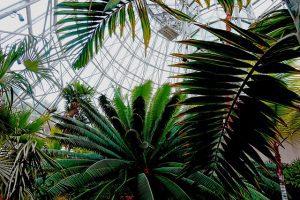 Cuidados de una palmera de interior