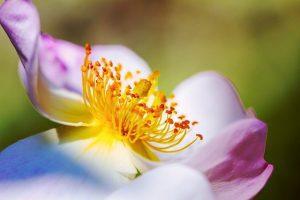 rosal trepador en maceta
