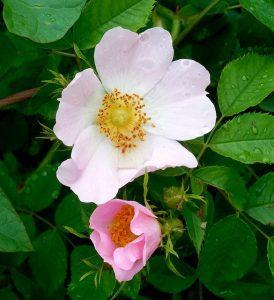 hoja de la rosa canina