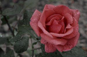 propiedades del agua de rosas