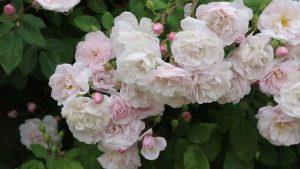 rosal de pitimini