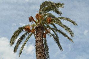 cuidados de la palmera datilera