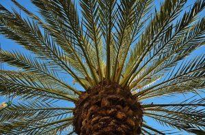 fruto de la palmera canaria