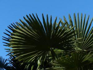 cuidados de la Palmera Canaria