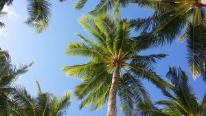 plantar una palmera