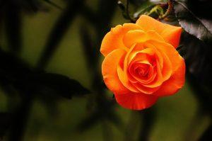 roya de rosal
