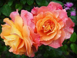 babosa del rosal