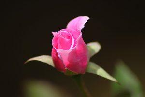 flor de la rosa silvestre