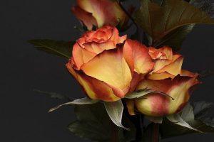 como se poda una rosa