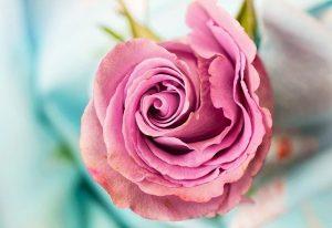 como plantar una rosa