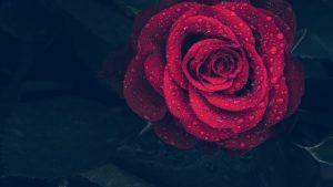cuidados de las rosas rojas