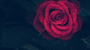 rosas como regalo