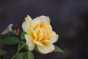 cuidados de la rosa amarilla