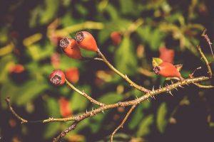 fruto de la rosa canina