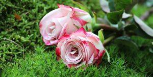 cuidados de la rosa