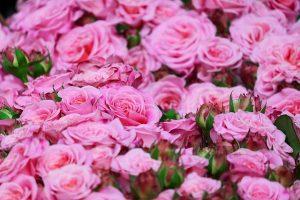 la historia de las rosas a lo largo del tiempo