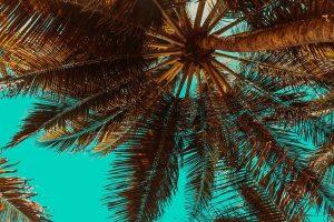 variedades de las palmeras