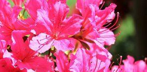 tipos y variedades de la azalea
