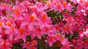 azalea japonica en el exterior