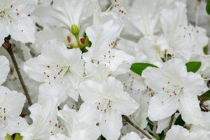 cuidados de la azalea blanca