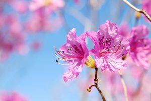 como y cuando florece la azalea