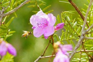 como plantar azalea