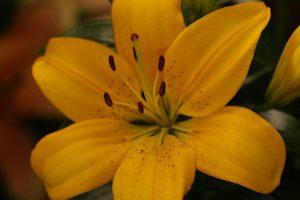 cuidados del lirio amarillo