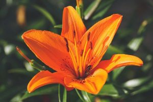 flor del lirio naranja