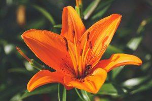 flor de lirio
