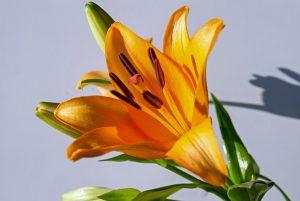 flor del lirio de tigre