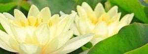 significado del lirio amarillo